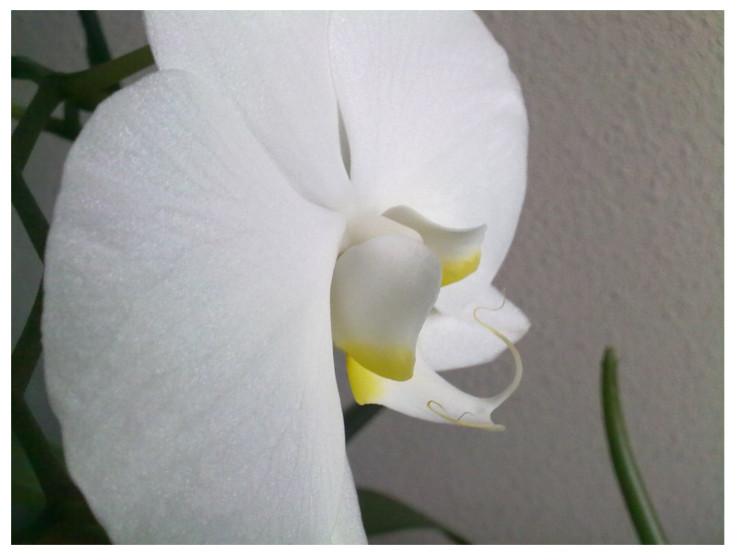 Orqudea blanca Chorraditas de Sonia